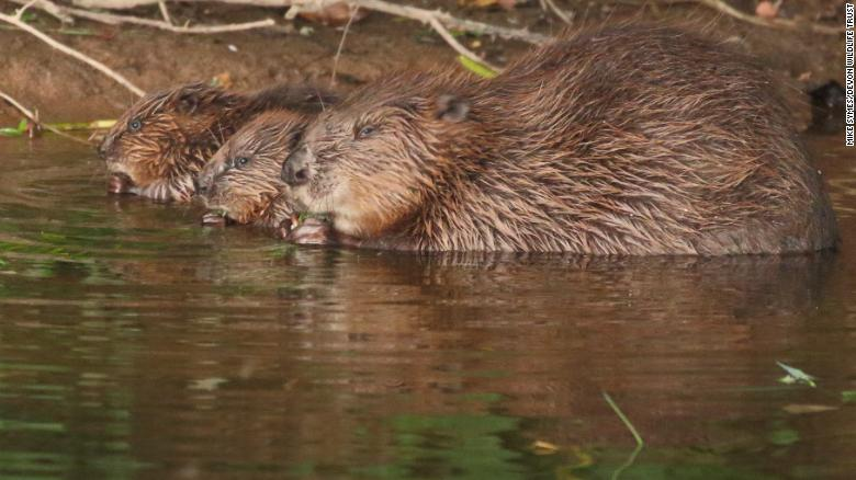 After 400 years away, England's beavers are protecting the landscape from flooding