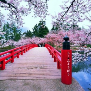 japans-cherry-blossoms-see-earliest-bloom-in-1200-years-as-climate-warms