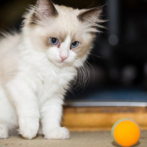 kitten-dies-after-catching-covid-as-study-uncovers-more-evidence-of-human-to-cat-transmission