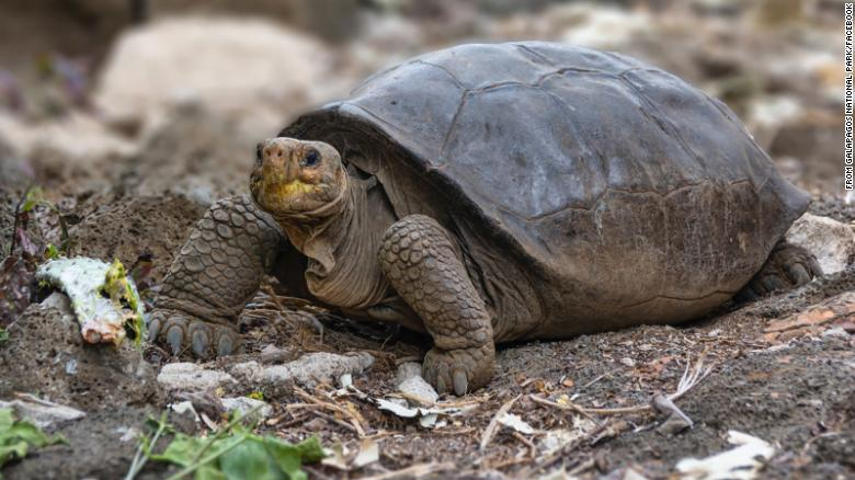 Giant Tortoise Thought Extinct 100 Years Ago Is Living In Galapagos, Ecuador Says