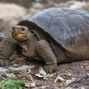 giant-tortoise-thought-extinct-100-years-ago-is-living-in-galapagos-ecuador-says