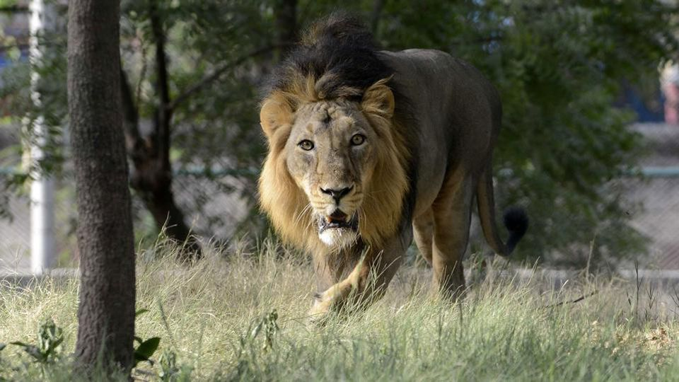 Second Lion In Indian Zoo Dies Of Covid-19 And 10 More Still Being Treated For Infection