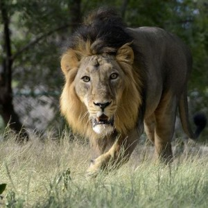 second-lion-in-indian-zoo-dies-of-covid-19-and-10-more-still-being-treated-for-infection